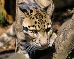 Title: Clouded Leopard (Neofelis nebulosa)