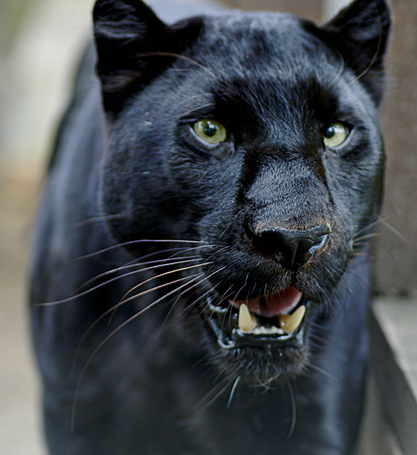 Black Panther (Leopard)
