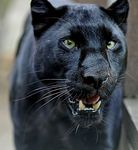 Title: Black Panther (Leopard)