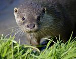 Title: Otter (Lutra lutra)