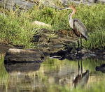 Title: Goliath Heron (Ardea goliath)