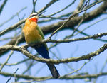Title: Bee Eater (Merops bullockoides)