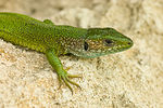 Title: Eastern Green Lizard