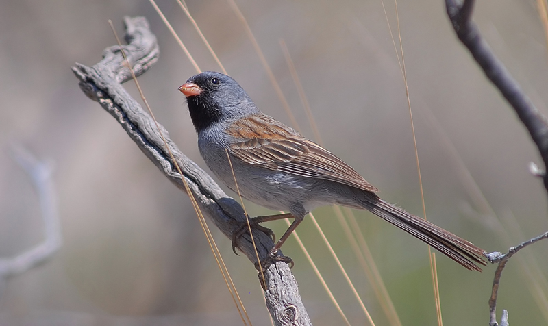 Black-chinned  Sparrow.