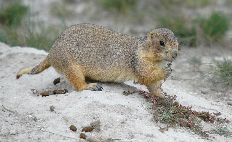 Mexican  prairie  dog.