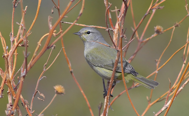 Orange-crowned  Warbler.