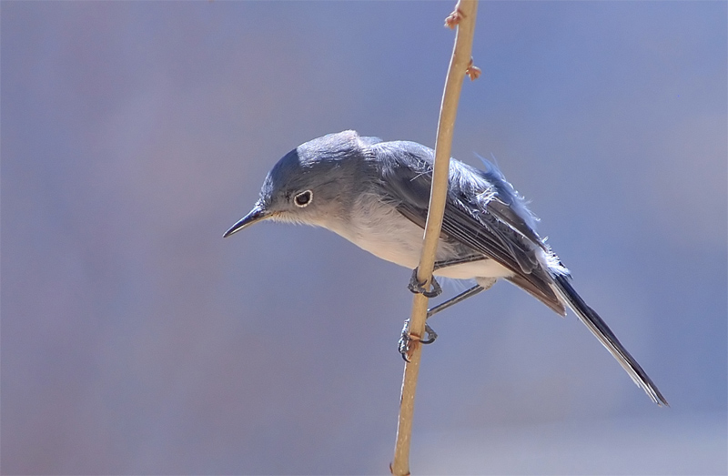 Blue-Gray  Gnatcather.