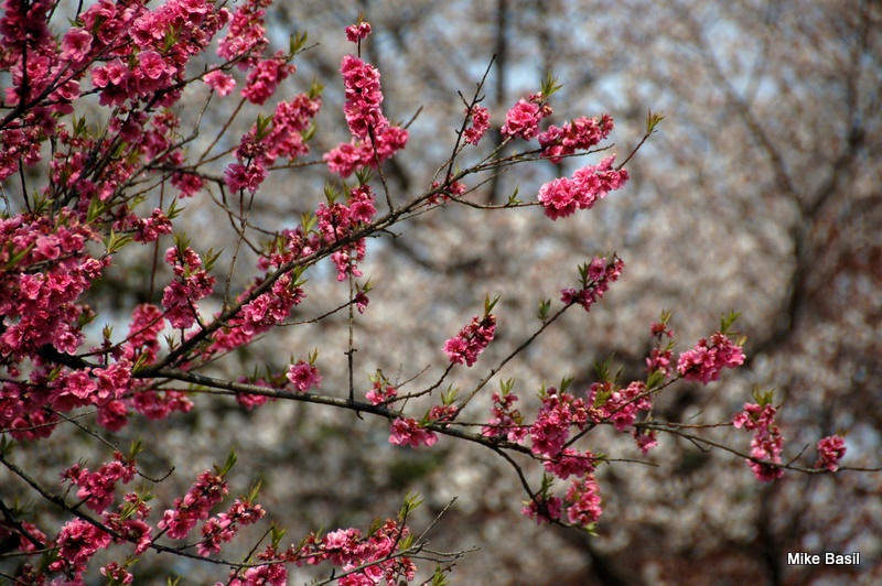 Plum and cherry blossoms