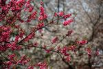Title: Plum and cherry blossomsNikon D50