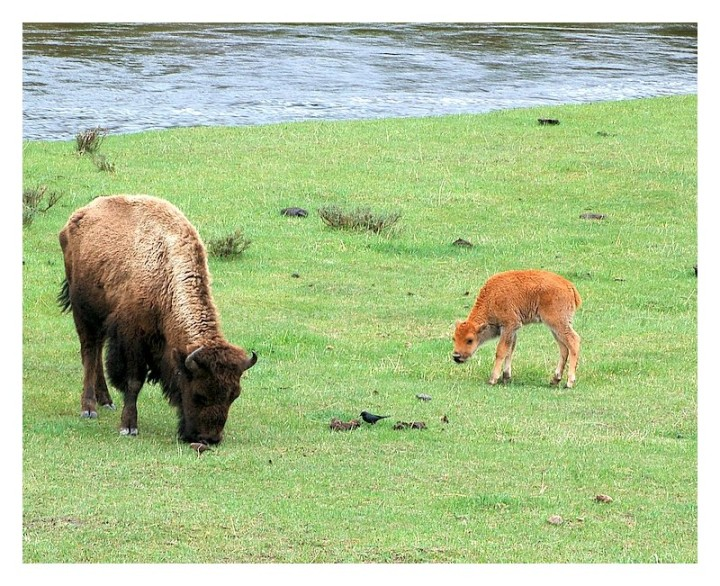 Yellowstone bison and baby
