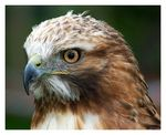 Title: Red Tailed Hawk