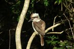 Title: Kookaburra sits in the old gum tree...