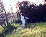 Title: Penguins in New Zealand???