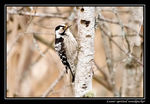 Title: Lesser spotted woodpecker