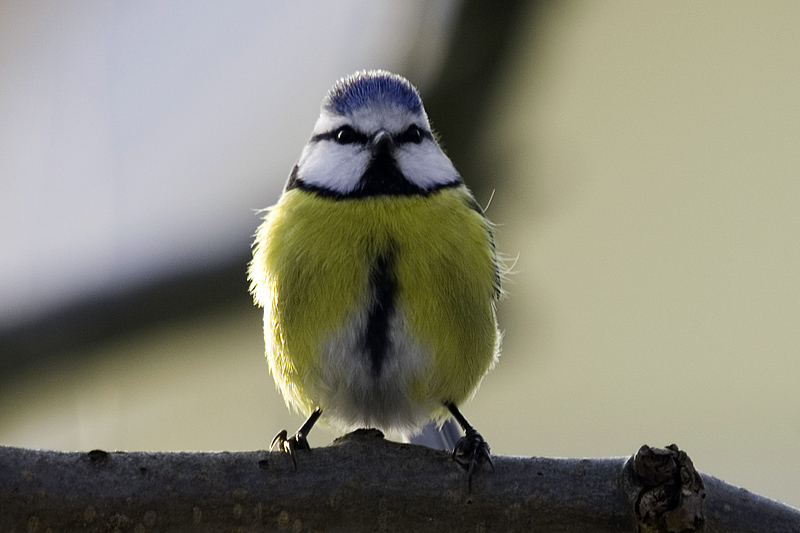 Blue tit's everywhere