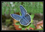 Title: idas or silver studded Blue