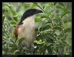 Title: Burchell's Coucal
