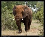 Title: African Elephant Camera: Sony Alfa dSLR A100