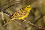 Title: Yellowhammer Camera: Sony  Alfa  dSLR A700