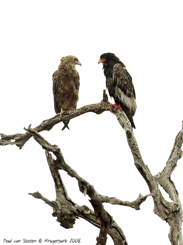 Juvenile and adult Bateleur