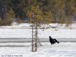 Title: Black Grouse