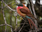 Title: Carmine Bee Eater