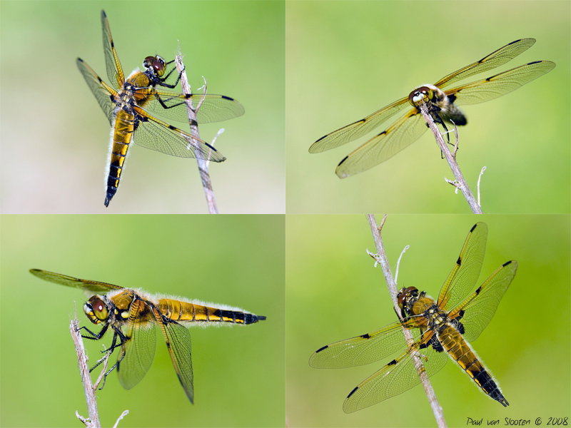 the 4 sides of the 4 Spotted Chaser