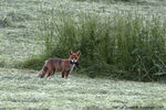 Title: Fox with rat ?