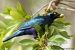 Title: Greater blue eared starling