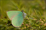 Title: Green Hairstreak