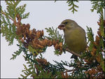 Title: Greenfinch in Thuja