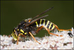 Title: Hoverfly ?