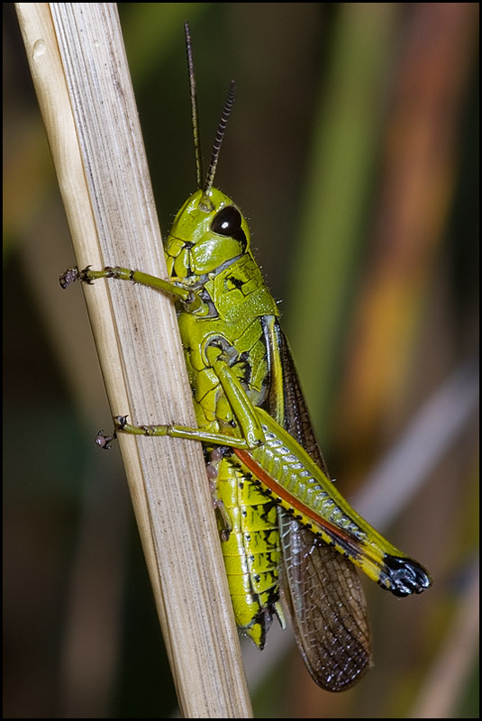 Male Marsh Grasshopper