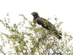 Title: Martial Eagle