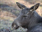 Title: Young MooseSony  Alfa  dSLR A700