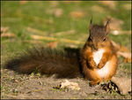 Title: Red SquirrelSony Alfa dSLR A100