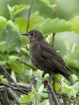 Title: Young Starling