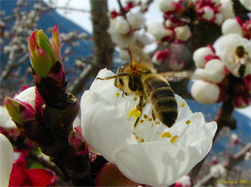Bee in the orchard