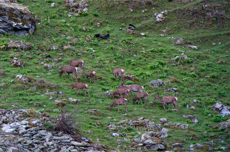 hinds and fawns