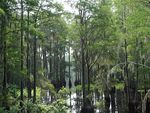 Title: Cypress Forest