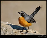 Title: White-thorated Robin