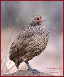 Title: Swainson s Francolin