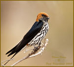 Title: Lesser Striped Swallow