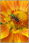 Title: �Green Wasp on Yellow Flower�