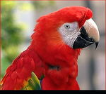 Title: Red Macaw