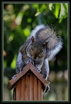 Title: �The Squirrel Cowboy�