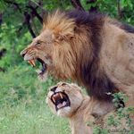 Title: Mating Lions