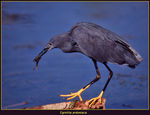 Title: Black Heron with Frog