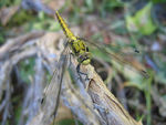 Title: Dragonfly posing