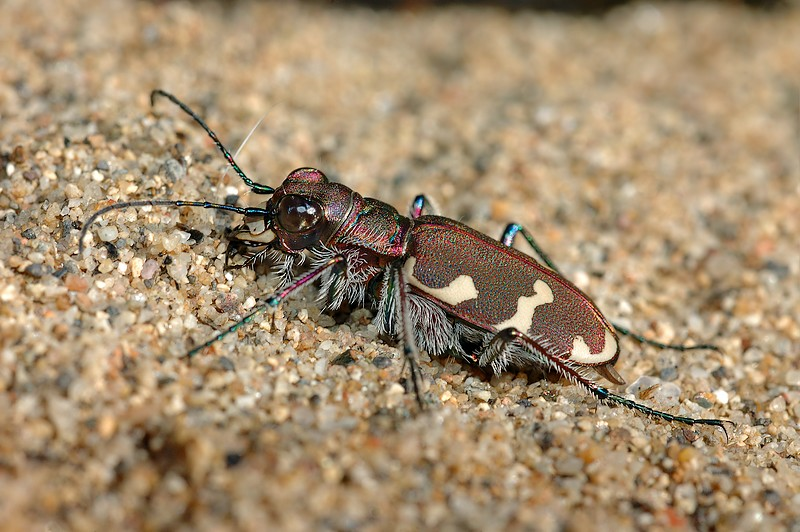 Tiger beetle once more